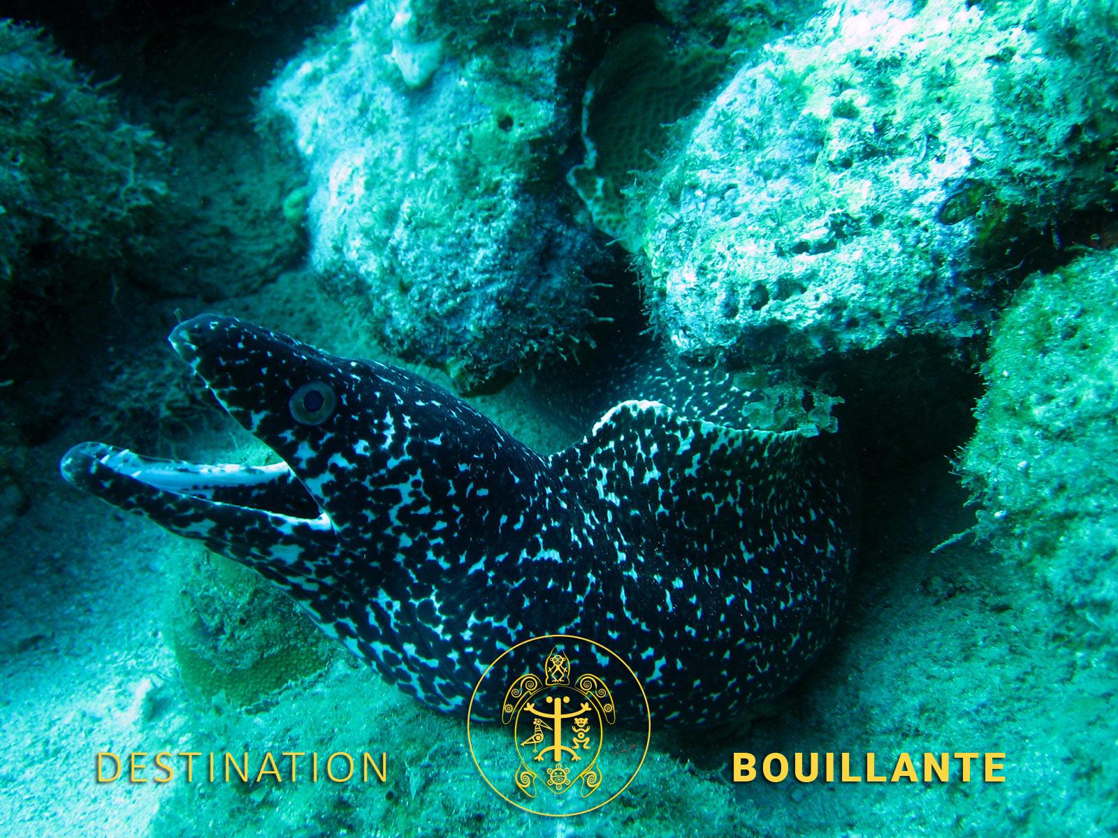 Murène noire - Réserve Cousteau